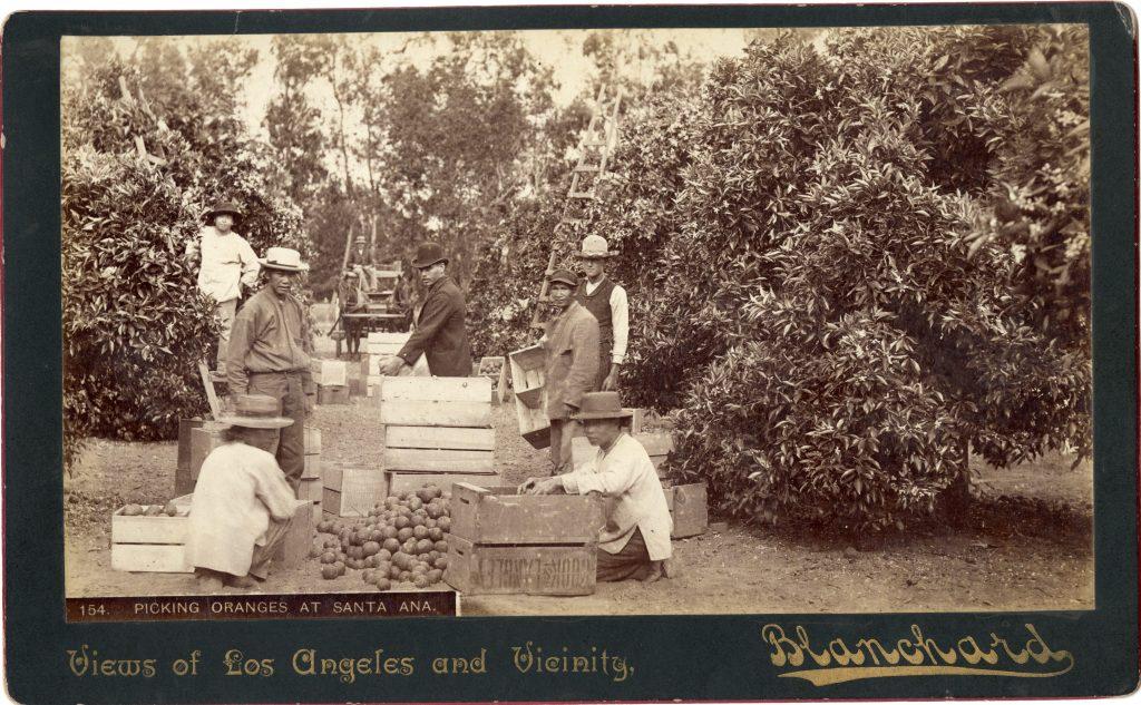 Picking Oranges at Santa Ana