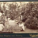 Picking Oranges at Santa Ana, circa 1890s