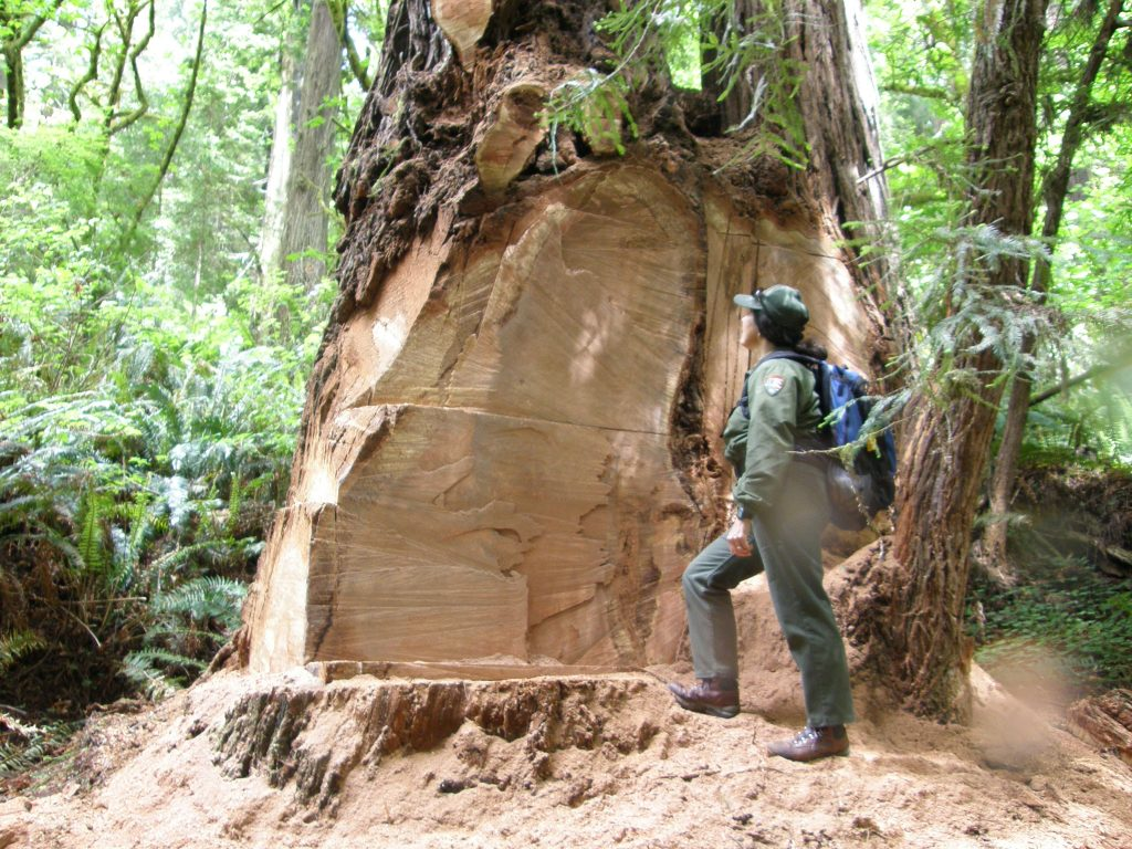 "Redwood National Park, California, USA: A park ranger inspects a redwood tree that has been vandalized to steal a ""burl"""