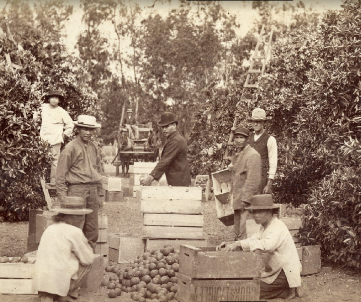 Agricultural laborers pack crates of citrus in an orange grove in Santa Ana, California. One man stands on a ladder in the background.