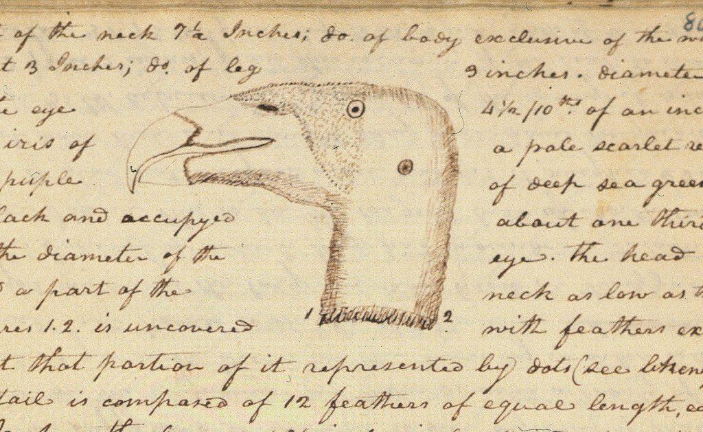 8.4-8.5.12a California condor Head of a Vulture